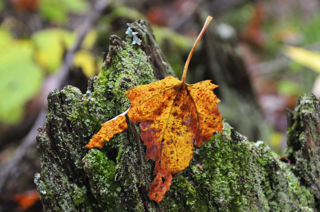 Single Autumn leaf on a tree stump - Grandon Harris